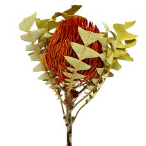 Banksia Baxterii Oranssi 8kpl