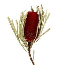 Banksia Hookerana punainen 7kpl