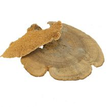 Puu sieni luonnollinen 1kg