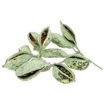 Brachyciton vihreä himmeä 500g