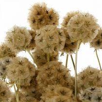 Scabiosa kuivattu luonto Scabiosa kuivatut kukat H50cm 100g