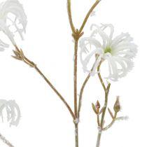 Clematis-haara valkoinen parveni 62cm 3kpl
