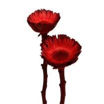 Compacta ruusukkeet punainen (36) 40kpl