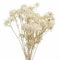 Kuivattu kukka ohdake oksa valkaistu 80g