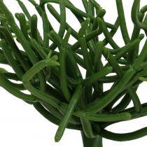 Euphorbia pick green 19cm 4kpl