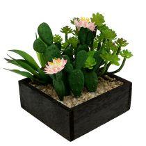 Kaktus kukka 14cm puulaatikossa