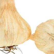 Valkosipuli 7,5-11 cm kerma 5kpl