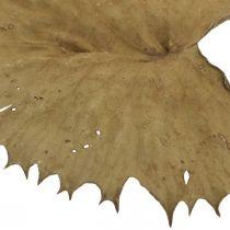 Lotus Leaves Kuivattu luonto Dry Dry Deco Water Lily Leaf 50kpl