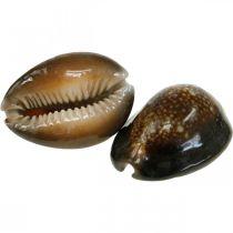 Kauri Shell koriste Luonto Merellinen koriste Merenkulku kuoret 500g
