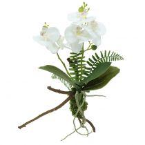 Orkidea valkoinen, sammalpallot ja juuret 36cm