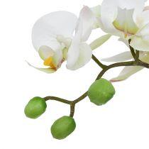 Phalaenopsis kerma keraamisessa kattilassa 33cm