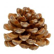 Pinea cone cream mixed 5-18cm 25kpl