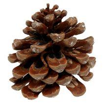 Pinus Pinea medium 10/14cm luonto 50kpl