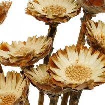 Protea Compacta Rosette Luonto Kuivattu Kukka Sokeri Bush 8kpl