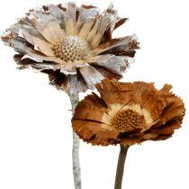 Exotics Mix Protea Rosette Luonnollinen, valkoinen pesty kuivattu kukka 10kpl