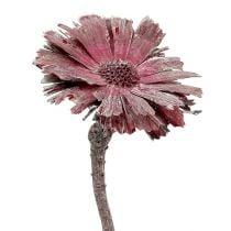 Protea ruusuke erica himmeä Ø8-9cm 25kpl 25kpl