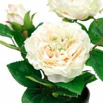 Pioni ruukussa, romanttinen koriste ruusu, kermainen valkoinen silkkikukka