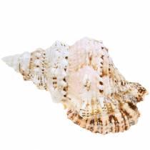 Sea etana jättiläinen sammakko etana luonto 18-20cm