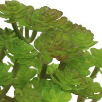Sedum sedum -kasvi 15 cm ruukussa