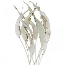 Strelitzia lehdet valkoinen pesty kuivattu 45-80cm 10kpl 10kpl