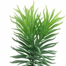 Mehevä Senecio Ragwort Green 20cm