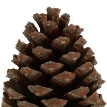Käpyjä Pinus Maritima 10cm - 15cm Luonnollinen 3kpl