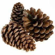 Pinus Pinea iso 14/18cm Luonto 50kpl