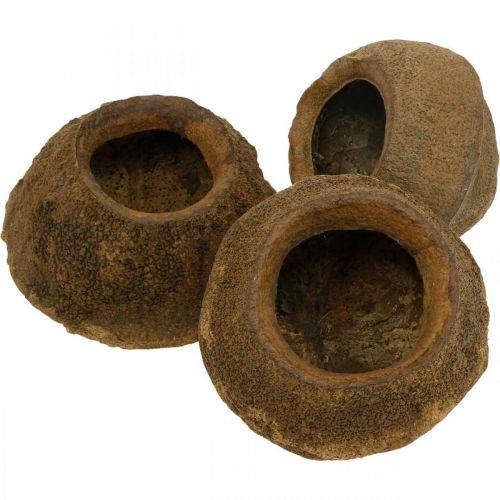 Paratiisipähkinä istutukseen, luonnon kasviruukku, Sapucaia koristeluun Ø6-7cm H10,5-11cm 3kpl.