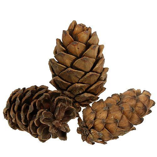 Kartiot luonnon 9cm - 10cm 6kpl